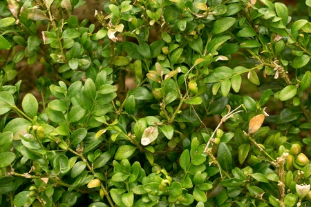hedge plant: Hedge fence.Boxwood bush in  background. Small Leaf Plant in The Garden