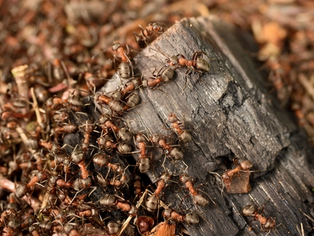 charred: Big charred wood in middle of wild ants build their anthill. Ant family - colony cooperate on new ant hill building. Stock Photo