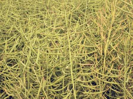 oilseed: Ripe oilseed rape field.  Fresh green beans. Oilseed rapeseed cultivated agricultural field. Stock Photo