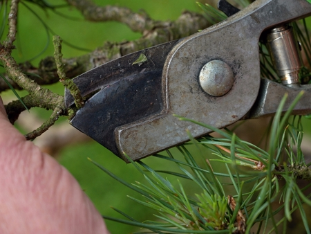 tree trimming: Artistic gardener hand trimming bonsai tree. Cleaning Treetop from wrong Twigs with heavy scissors wide. . Needle bonsai tree