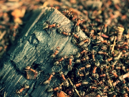 anthill: Big charred wood in middle of wild ants build their anthill. Ant family - colony cooperate on new ant hill building. Stock Photo