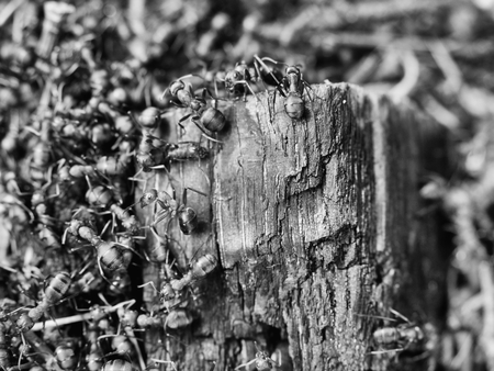 anthill: Big Charred wood in middle of wild ants build Their anthill. Ant family - colony cooperate on building new ant hill.
