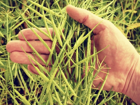 oil rape: Man hand hold oilseed crop in front. Fresh green beans. Oilseed rapeseed cultivated agricultural field.
