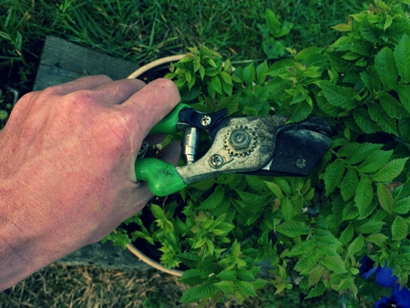 Gardener hand cut branch on hornbeam bonsai tree. Cleaning Treetop from wrong Twigs with heavy scissors wide. Stock Photo