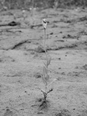 codeine: Lost small blossom of poppy flower in wind. Field with green poppy heads in background. Black and white photo Stock Photo