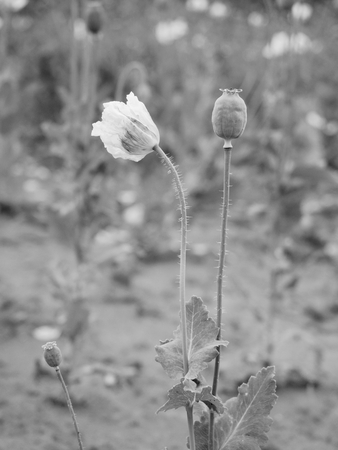 unripened: Lost small blossom of poppy flower in wind. Field with green poppy heads in background. Black and white photo Stock Photo
