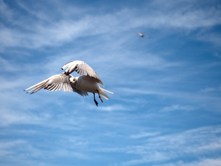 white headed: Sea gull in blue sky. Wild seagull bird flies and looking into camera. Blue sky over the sea. Stock Photo