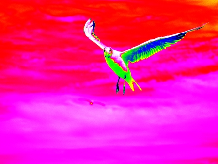 infra: Infra scan, thermography photo. Sea gull in blue sky. Wild seagull bird flies and looking into camera. Blue sky over the sea.