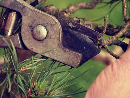 tree trimming: Artistic gardener hand trimming bonsai tree. Cleaning treetop from wrong twigs with heavy wide scissors. . Needle bonsai tree