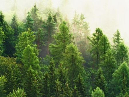 heavy effect: Fresh green forest after heavy rainy night. Treetops increased from fog and stripping inversion.  Vivid effect. Stock Photo