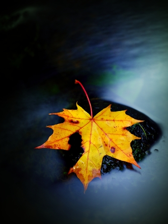 bubble level: Broken fallen maple leaf on slippery basalt stone in smoky water. Cold water cascade of mountain stream. Vivid autumn colors.