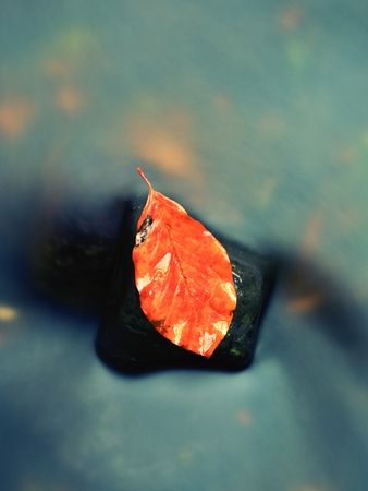 beech leaf: Beechen Fallen Leaf. Rotten orange beech leaf in cold water of mountain stream. Colorful autumn symbol.
