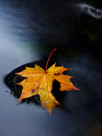 beck: Broken fallen maple leaf on slippery basalt stone in smoky water. Cold water cascade of mountain stream. Vivid autumn colors.