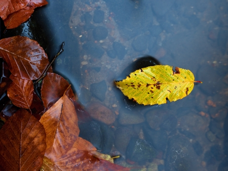 beech leaf: Autumn colors.  Death beech  yellow leaf caught  in cold mountain stream. Stones and colorful autumn leaves. End of life, end of season. Stock Photo