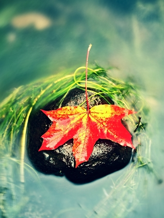 mirror on the water: Caught yellow orange maple leaf on  long green algae stone. Colorful symbol of comming fall season. Boulder in mirror water of mountain river.