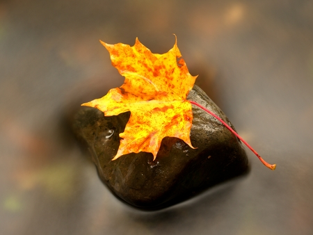 mirror on the water: Autumn nature. Detail of rotten orange red  maple leaf. Fall leaf lay on dark stone in blurred mirror water of mountain river. First autumn leaves. Stock Photo