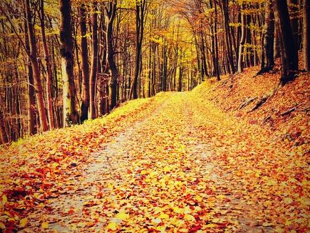 shinning: Yellow Orange Autumn Forest. Autumn forest with ground covered with orange and yellow leaves carpet. Sun rays shinning between branches