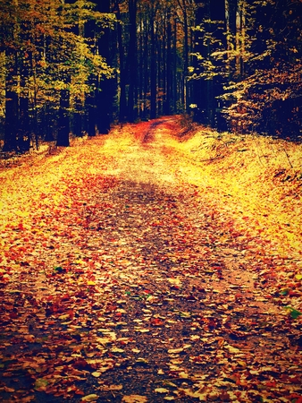 Yellow Orange Autumn Forest. Autumn forest with ground covered with orange and yellow leaves carpet. Sun rays shinning between branches