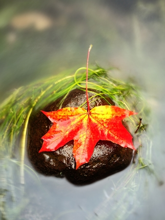 Caught yellow orange maple leaf on long green algae stone. Colorful symbol of comming fall season. Boulder mirror in water of mountain river. Stock Photo