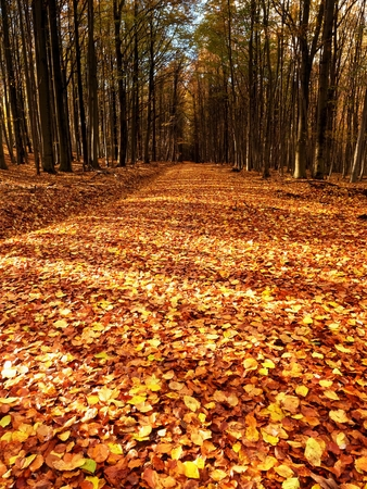 yelllow: Path leading among the beech trees in early autumn forest. Fresh colors of leaves, yelllow green leaves on trees shinning in afternoon sun. Stock Photo