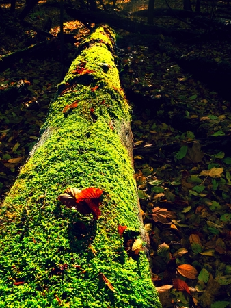Mysterious wild muschroom in lighting forest. Slim stalk, fallen leaf on cap  with surreal light. Moss and fairytale mushroom