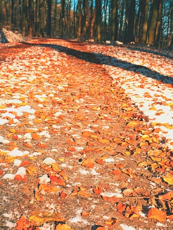 Snowy path leading among the beech trees in early winter forest. Fresh powder snow with colors of leaves, yellow green leaves on trees shinning in afternoon sun Stock Photo