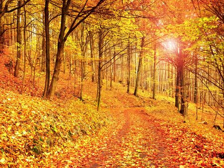 shinning: Forest Road in the autumn. Autumn Landscape. Fresh colors of leaves, yellow green leaves on trees in afternoon sun shinning. Stock Photo