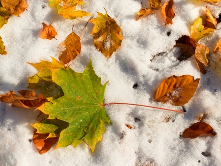 freeze dried: Fallen green and orange dry maple leaf and  beech leaf on snow. Leaves burned  in hoarfrost. First autumn freeze. Stock Photo