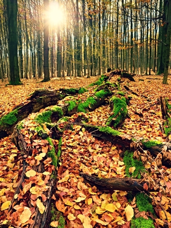 Mossy fallen tree. Footpath in the forest covered by bare roots. Rot orange beech leaves on death tree..