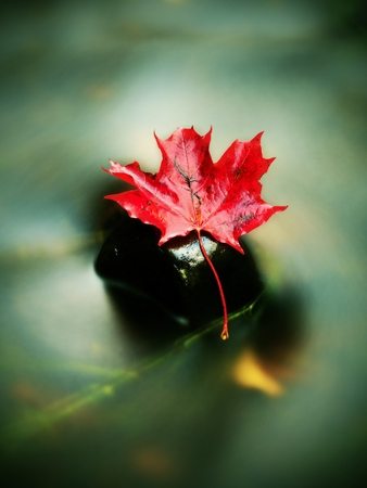 backwater: Dried maple leaf in water, floating maple leaf in cold stream. Stock Photo
