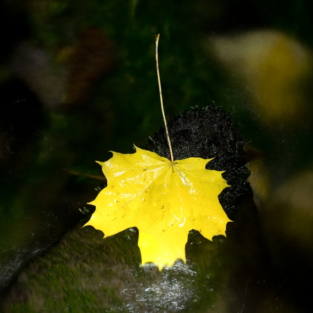 Yellow maple leaf on stone in rapids. Fallen leaves caught on stone in water with green algae.