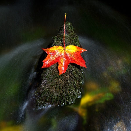 Two colors leaf. Bright red orange autumn maple leaf fallen in water. Leaf caught on mossy stone in cold water of mountain stream