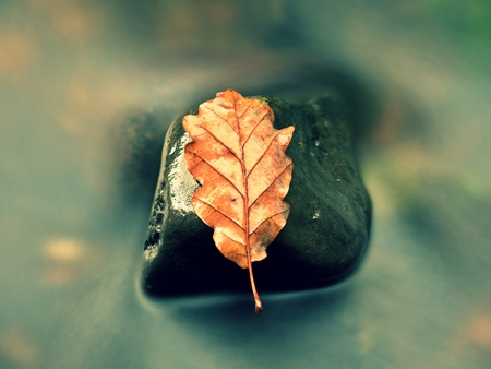 Fall oak leaf. Caught rotten old oak leaf on stone in blurred water of mountain river. Autumn symbol, life circle.