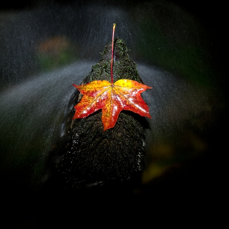 Red autumnal  maple leaf in water. Dried leaf caught on mossy stone in cold water of mountain stream