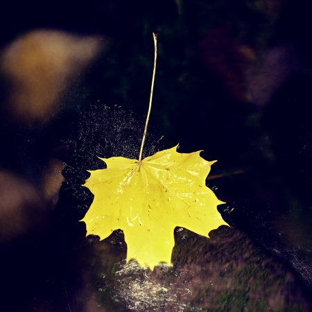 Yellow maple leaves lay on stone in river. Dried fallen colorful leaves on water green algae in cold water