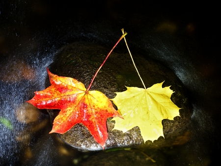 Yellow red  maple leaves flow in river. Dried fallen colorful leaves on water green algae in cold water