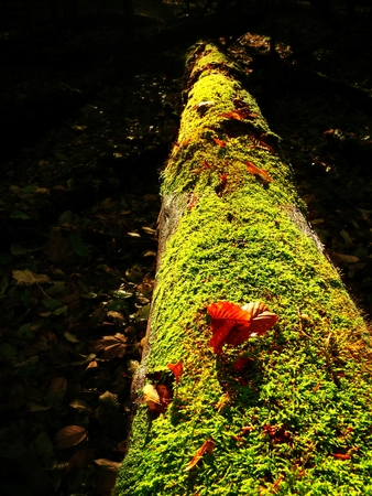 Brown shinning mushrooms growing in moss on the fallen tree. Leaves forest in fall season in background.