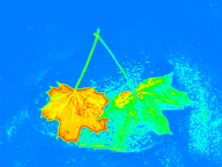Infrared scan of leaves in river. Maple and  oak leaves on stream water level. Thermo vision changed colors. Temperature measurement.