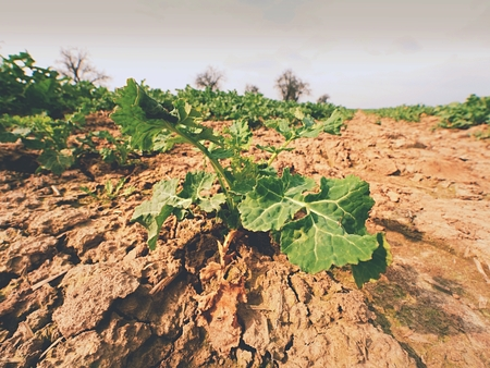 bio diesel: A small oilseed rape plant on wet humus clay. The quality check of oilseed rape and roots. The stalk, leaves and roots. Stock Photo