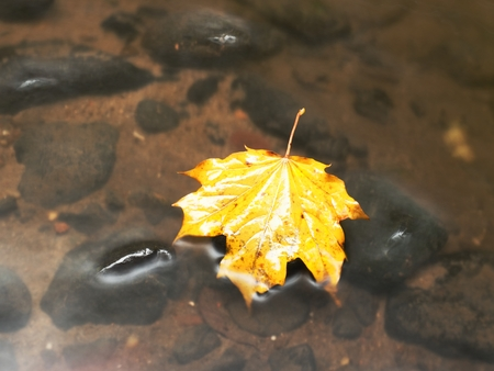 Fallen maple leaf. Rotten yellow orange dotted maple leaf in cold water of mountain stream. Colorful autumn symbol. Stock Photo