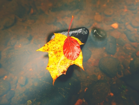 Fallen maple leaf. Rotten orange dotted yellow maple leaf in cold water of mountain stream. Colorful autumn symbol. Stock Photo