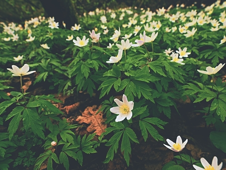 outdoor lighting: A meadow full of wood anemones in blossom, view close up to ground. Flowering anemone nemorosa (well known as windflower or thimbleweed or smell fox) during spring season Stock Photo