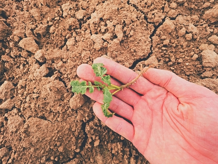 rappi: Farmer check quality of flower rapeseed in spring field. Leaves, stalk and roots of young rapeseed (Brassica napus), well known as rape, oilseed rape, rapa, rappi or rapaseed. Detail view to small plants in palm Stock Photo