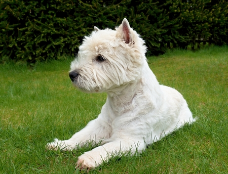 West Highland White Terrier sitting on the fresh green grass in the garden. The dog watches the surroundings