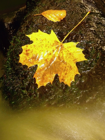 Autumn colorful leaf. Castaway slipper on wet stone in stream Stock Photo