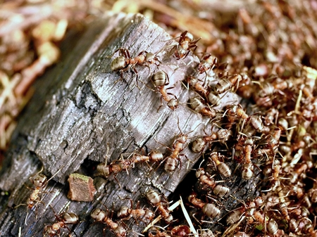 Wild ants build their anthill, big piece of black charred wood. Ant family - colony cooperate on new ant hill building. Stock Photo
