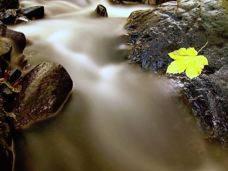 Yellow green maple leaf caught on the stone in rapids of mountain stream. Mossy wet slipper stone in stream