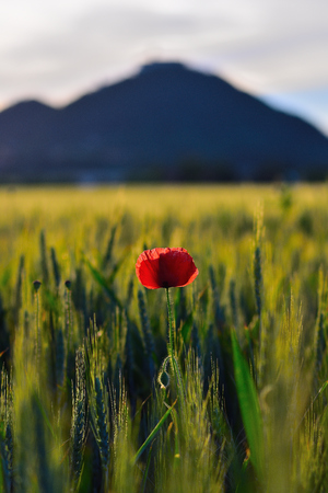 Fresh red poppy flowers are fluttering with fresh green barley field. The red poppies in the blossom are swinging in the wind.