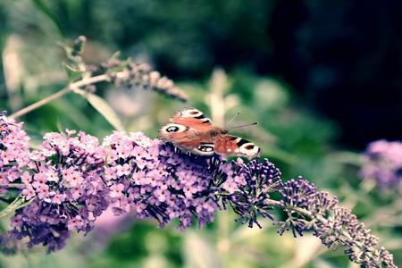 Peacock butterfly feeding nectar on lilac flower. Rich colors of purple buddleja bush in summer garden