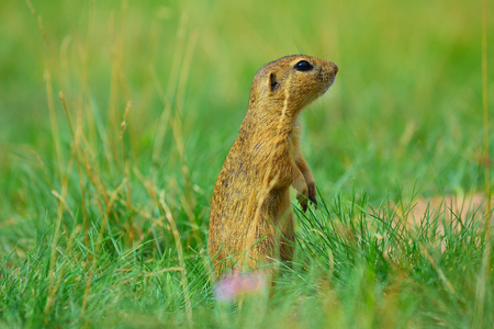 Alerted squirrel . Ground squirrel alert and watching around. Cute mammal on meadow